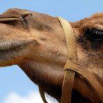 Kamelrechner – Wie viele Kamele ist meine Freundin wert?